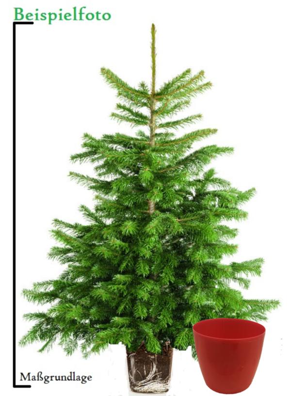 Alternativer weihnachtsbaum im topf - Weihnachtsbaum im topf kaufen ...
